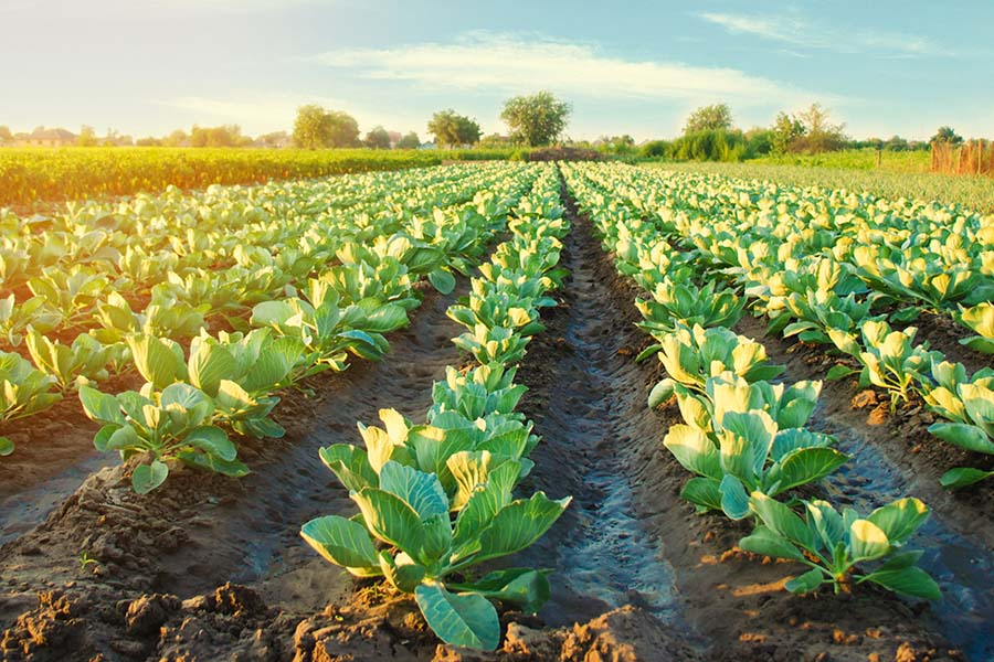 Specialized Business Insurance - Rows Of Crops Growing On Farm